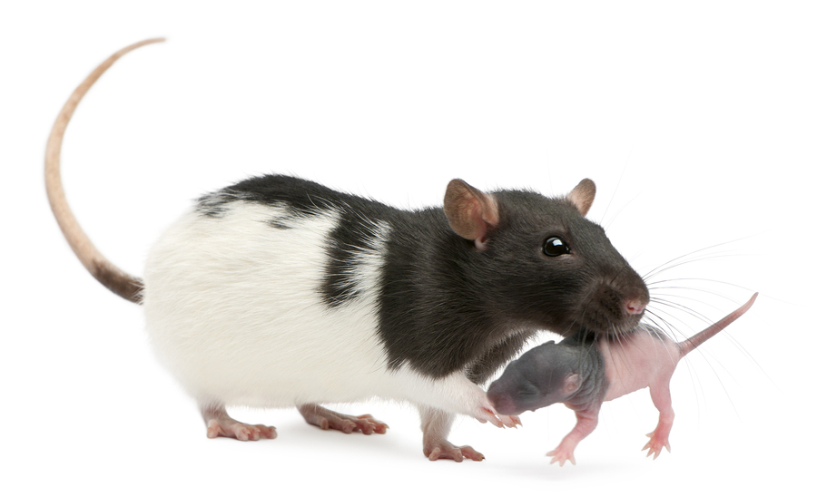 Mother rat carrying her baby in her mouth, 5 days old, in front
